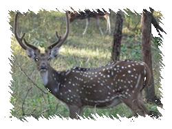 Axis Deer Hunts, OMM Outfitters, Florida
