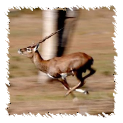 Black Buck Hunts, OMM Outfitters, Florida